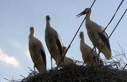 Storks nesting in Hungary